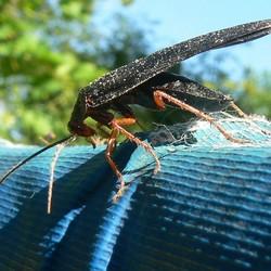 Kakkerlak - Deropeltis erythrocephala