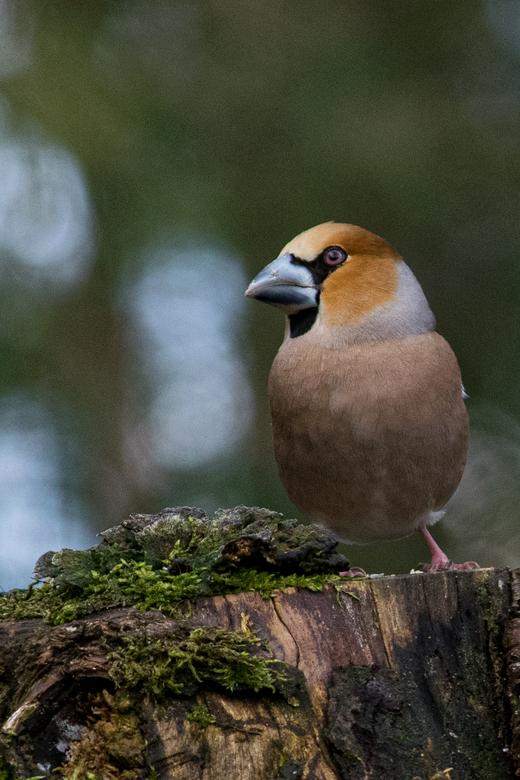 Appelvink  - Vogelhut Arjan Troost