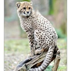 Cheetah Sweetie