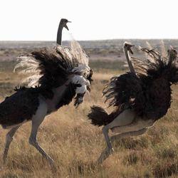Namibië, Etosha NP, Struisvogels maken ruzie