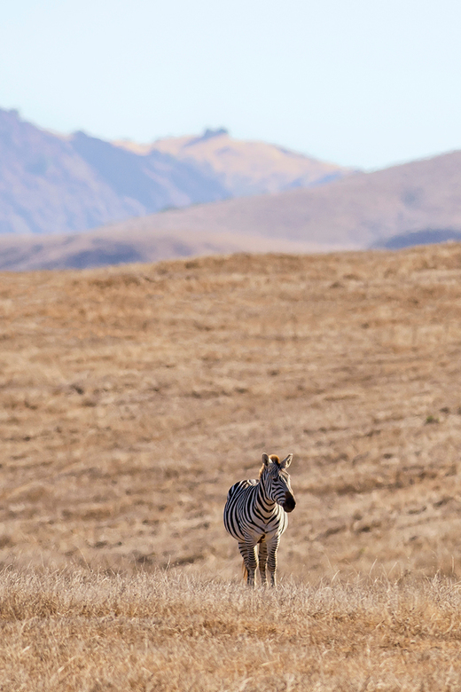 Zebra in the states