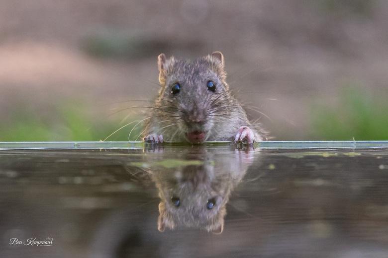 Bruine rat. Zo lief heb ik ze niet eerder gezien - Bruine rat komt drinken