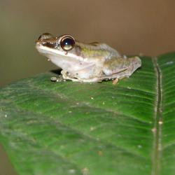 Kikker, Borneo