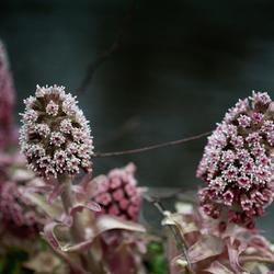 Petasites hybridus