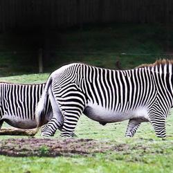 Zebra's  -1-