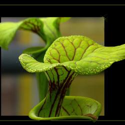 hortis plantje