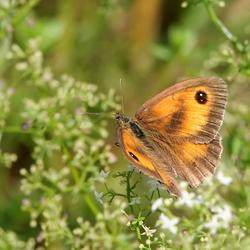 Vlinder Het Oranje Zandoogje