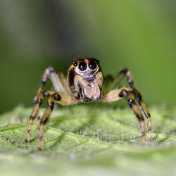 Jumping spider Peru