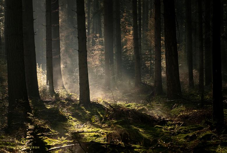 Moist.. - Ook de naaldbossen in het Speulderbos waren prachtig. Het groene mostapijt vol druppeltjes werd verwarmd door de ochtendzon waardoor er prac
