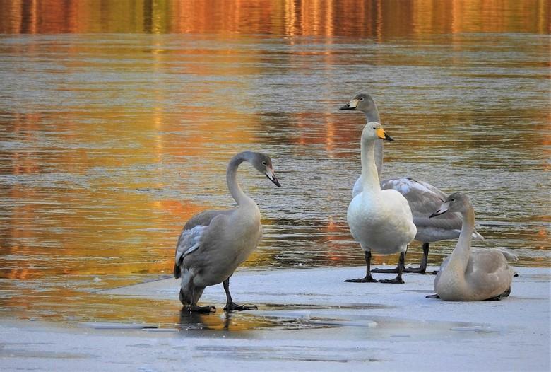 zwanen - vandaag heel wat zwanen gezien  ze lagen op het ijs  ik dacht dat die swinters altijd vertrokken maar ze zijn er nog ik denk twintig bijelkaa