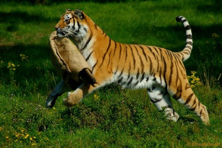 Arisha aan het spelen met een jute zak - Het wordt weer 's tijd voor een upload en ik begin natuurlijk weer met de Tijgers van Safaripark Beekse