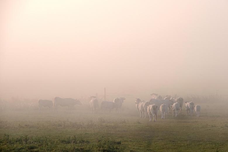 Waar is onze wei nou gebleven? - De koeien liepen net vanaf hun voerbakken terug naar de weide, maar die leek ineens volledig te verdwijnen in een muu