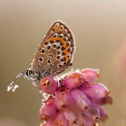 Vlinder in ochtenddauw