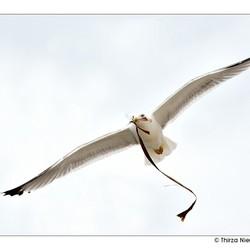 Seagull of Peace