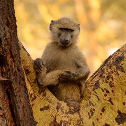 Jonge baviaan