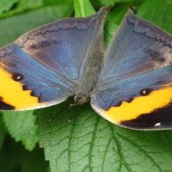 Prachtige vlinder in vlindorado