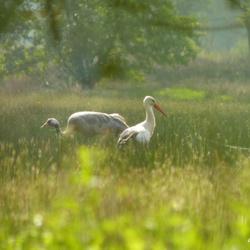 Kraanvogel met Ooievaar