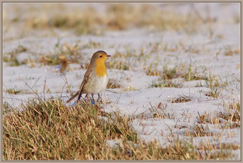 Roodborstje in de sneeuw - Tijdens een wandeling in het bos, zagen we een roodborstje over de grond lopen. Op zoek naar wat eetbaars.<br /> We konden
