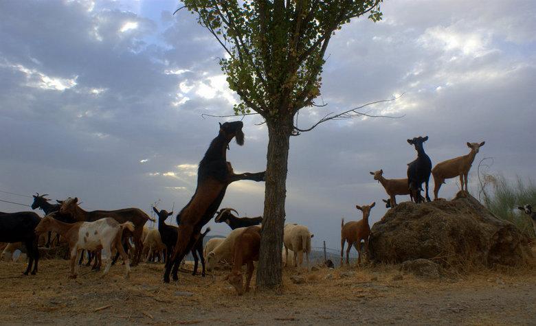 Goats. - Vroeg op pad in Zagra.