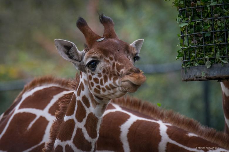 Jonge giraf . -
