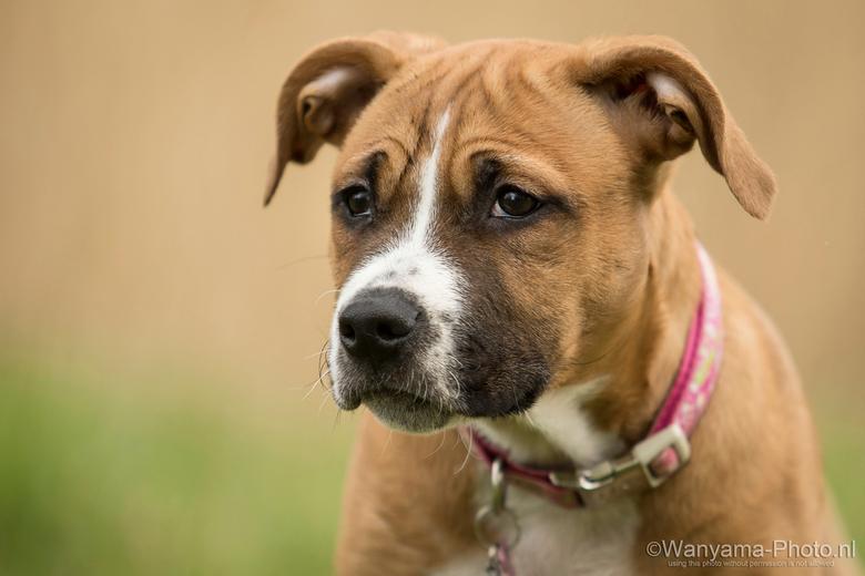 Neyva - Neyva, 8 weken jong pupje, American Stafford