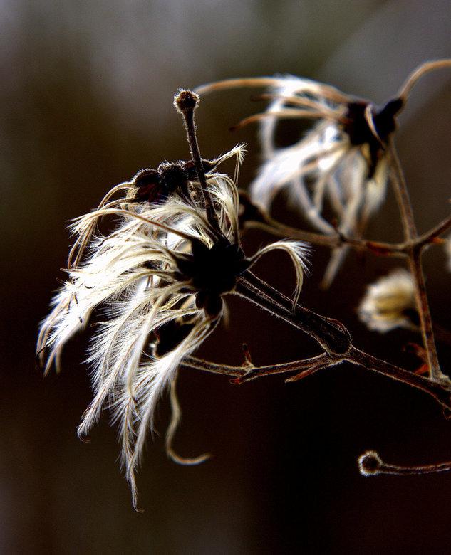 pluisachtig - een fijn pluisje van een voor mij onbekende plant laat zn schoonheid zien na de bloei