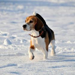 Hond in sneeuw, winter 2012/2013