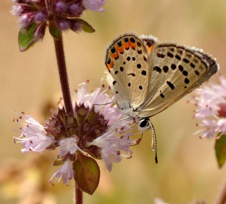 Pallid Dotted-Blue... - Deze vlinder tegengekomen bij Bass Lake , Yosemite...<br />