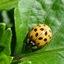 Citroen Lieveheersbeestje (Psyllobora vigintiduopuctata)