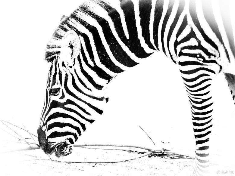 Een witzwarte zebra