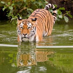 Tijger in het water