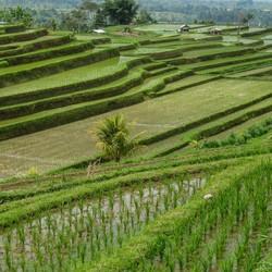 Bali - de rijstvelden van Jatiluwih