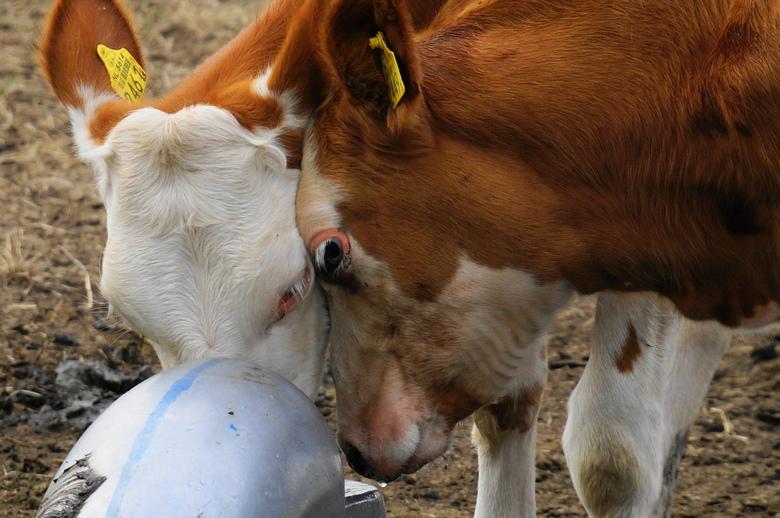 Dorst - Geloof dat de andere koe ook veel dorst heeft