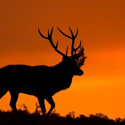 Edelhert bij zonsopgang