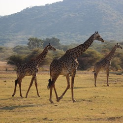 Giraffes in Lake Manyara