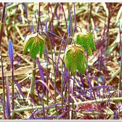 Bewerking: Fritillaria meleagris AKA Bloemetjes