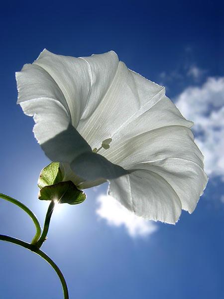 De Haagse Winde - Dit is een onkruid klimplantje dat, als je niet uitkijkt, je hele tuin overneemt. Aan de klimplant zitten wel hele mooie witte bloem