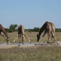 Drinkende giraffen