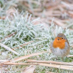 Roodborsje in winterse omstandigheden