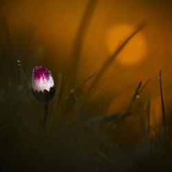 daisy time