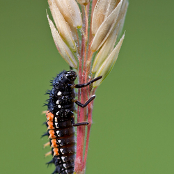 Lieveheersbeestje larve