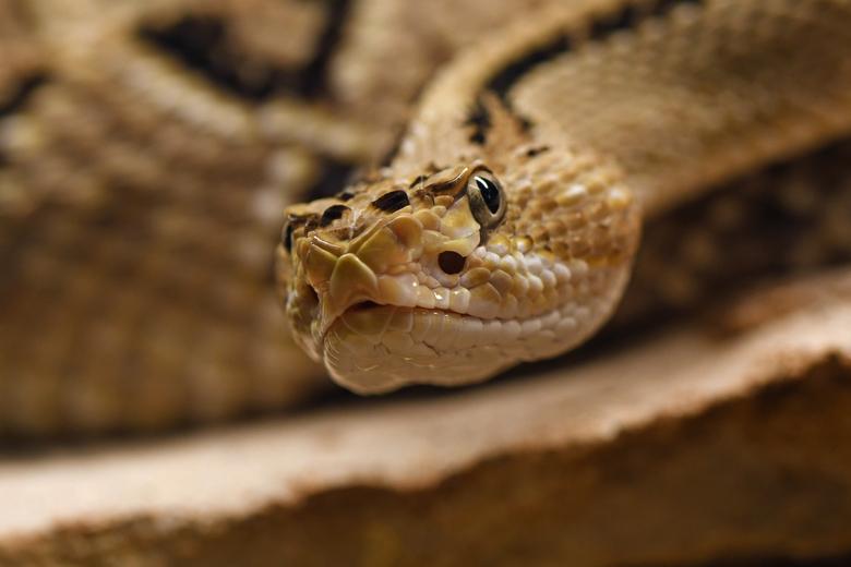 geheim wapen - Tussen de ogen en de neusgaten zit een groef. Het is het geheime wapen van ratelslangen. In de holten bevinden zich warmtereceptoren. D