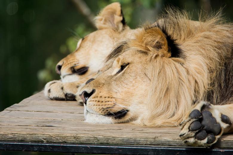 Schoonheidsslaapje - Ook de koning van de jungle heeft zo nu en dan een momentje rust met zijn vrouwtje nodig.