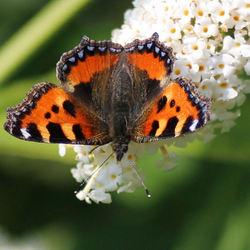 vlinder-kleine vos?