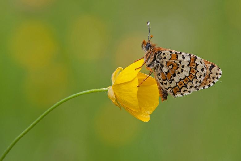 Veldparelmoer vlinder - Deze mooie vlinder past wel bij het nog mooie weer.!<br /> Dank jullie wel voor de reacties op de vorige upload de Koninginne