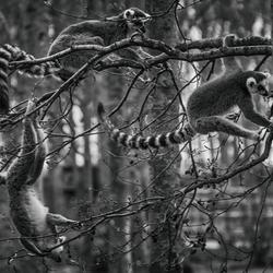 Hoenderdael makakis fooling around