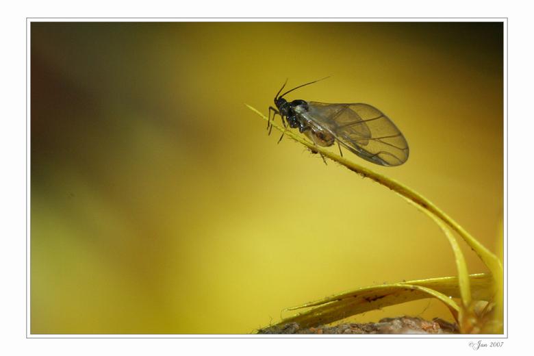 Genoeg Hele kleine zwarte vliegjes met lange vleugels zitten in de SO11