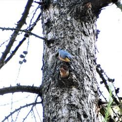 boomklever op stam