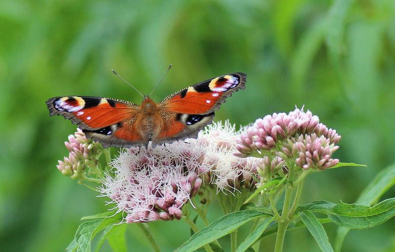 dagpauwoog - Het is weer vlindertijd. Maar altijd waait het... Bijna geen onbewogen foto te maken. Toch maar geprobeerd.