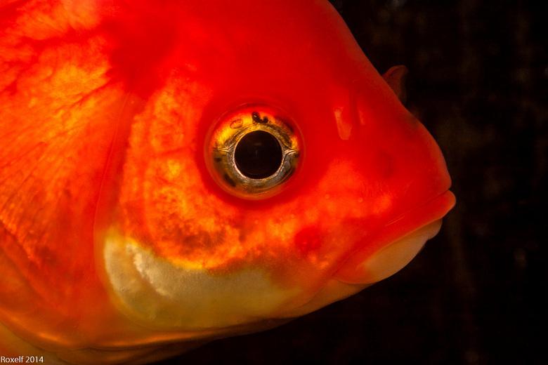 Goudvis - Karakter-shoot van een goudvis.